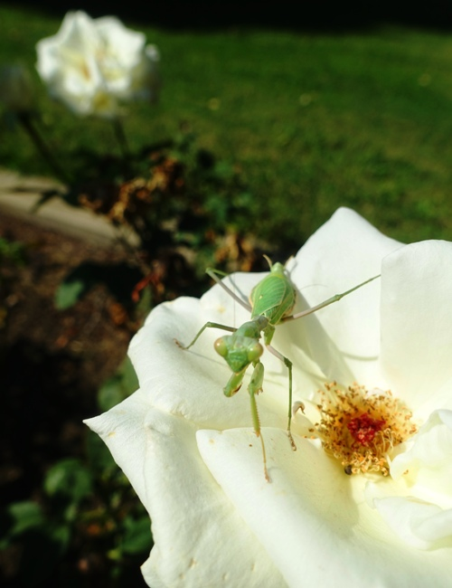 Flora and Fauna, Rose Garden, Mantis, bee, spider