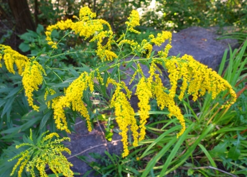yellow flowers, goldenrod, fall