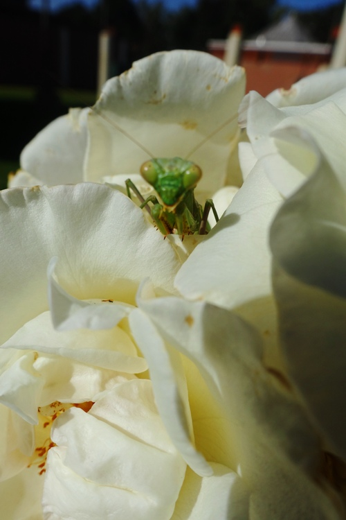 mantis, rose, rose garden, tracy, library