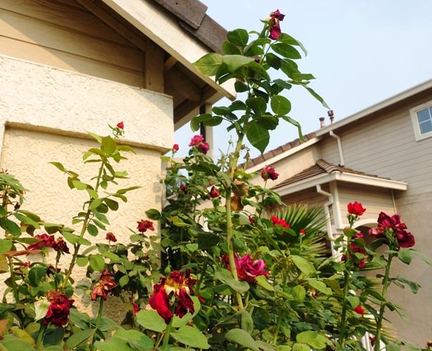 rose bush, 8 feet tall, red roses