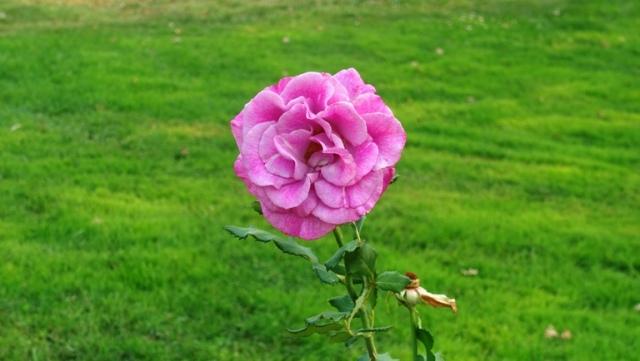 Pink rose, community rose garden