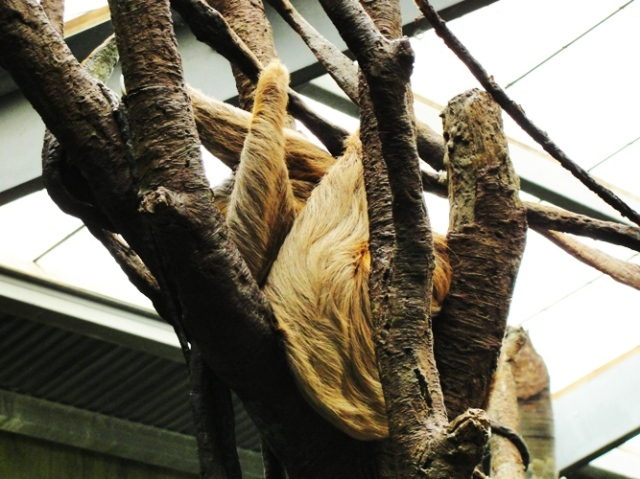 Linnaeus's two-toed sloth, Choloepus didactylus, omaha zoo, henry doorly zoo