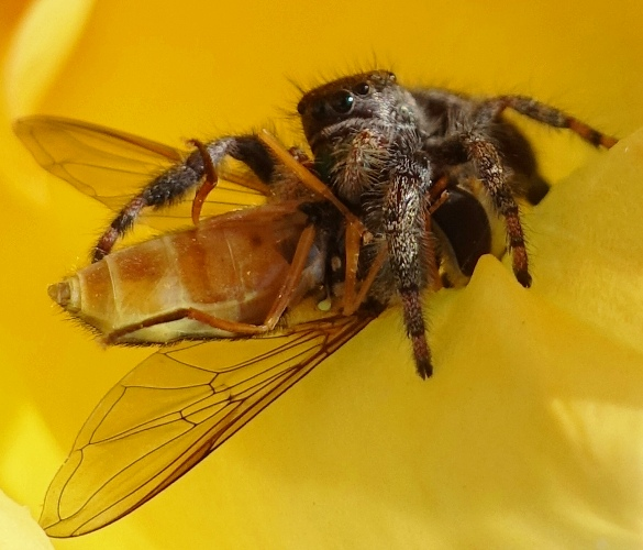 spider, bee, captured prey, rose petals