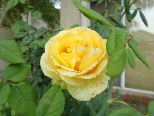yellow rose, st. Patrick rose, november rose