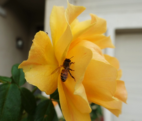 honey bee on rose, rose bush, November rose