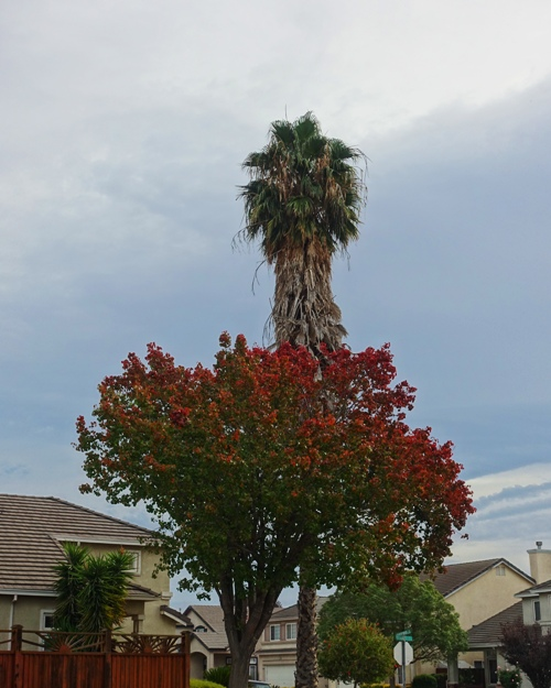 trees, park, red leaves, palm