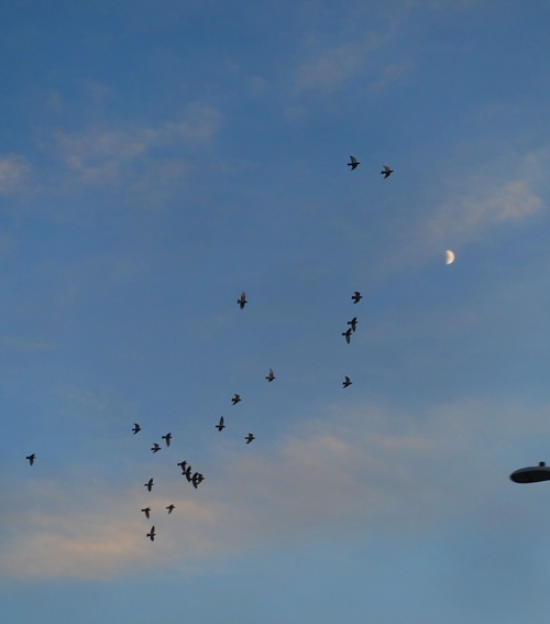 flock of birds, circling, moon