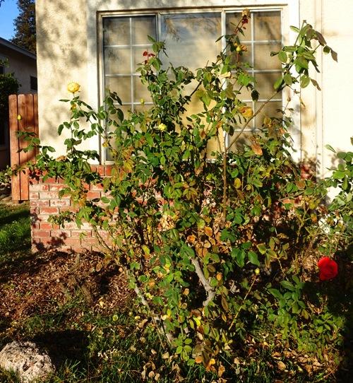 pruning, roses, when to prune, rose buds, roses, yard work