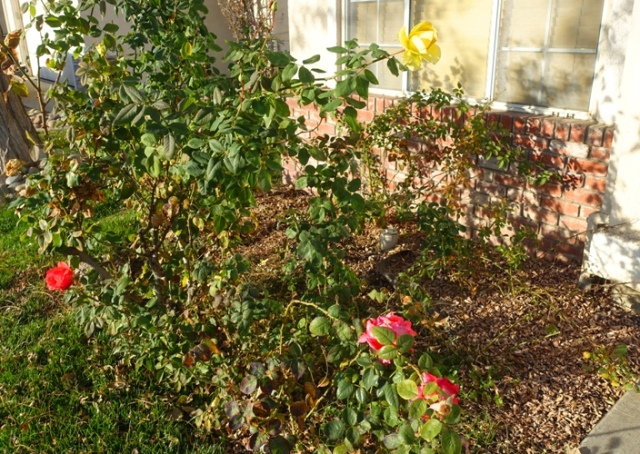 pruning, roses, when to prune, rose buds, roses, yard work