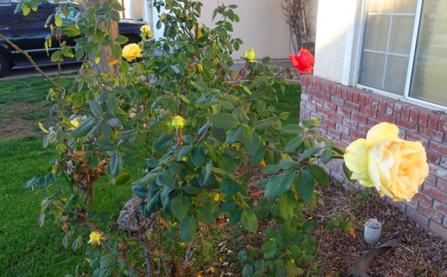 rose bushes, last roses, pruning time