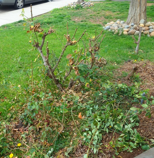 pruning rose bushes, last blooms