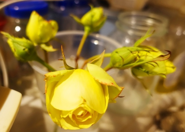 yellow rose buds, will they open, roses
