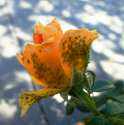 aphids, roses, lady bugs, cycle of life, roses