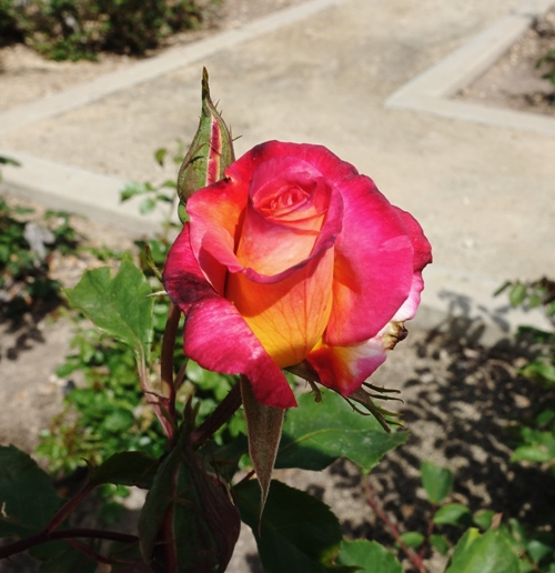 tracy community rose garden, rose bloom, park