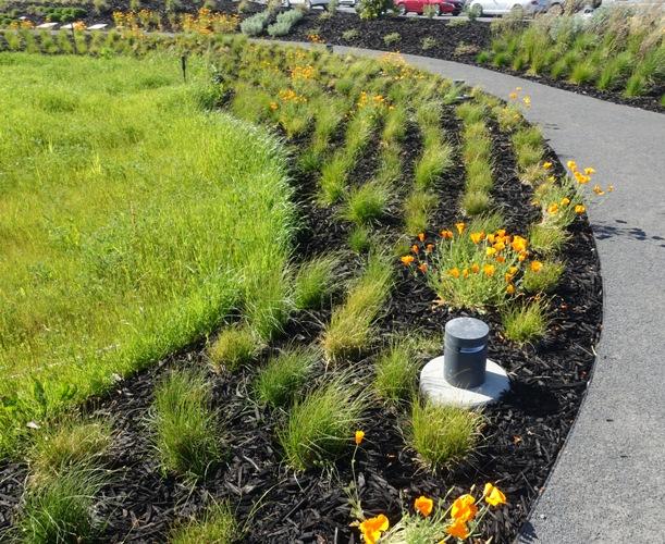 California Poppy (Eschscholzia californica), State Flower, Zeiss Innovation Center, ZICC, Dublin