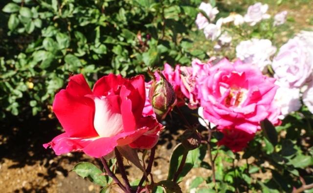 community rose garden, bee, roses, colorful roses, Garden