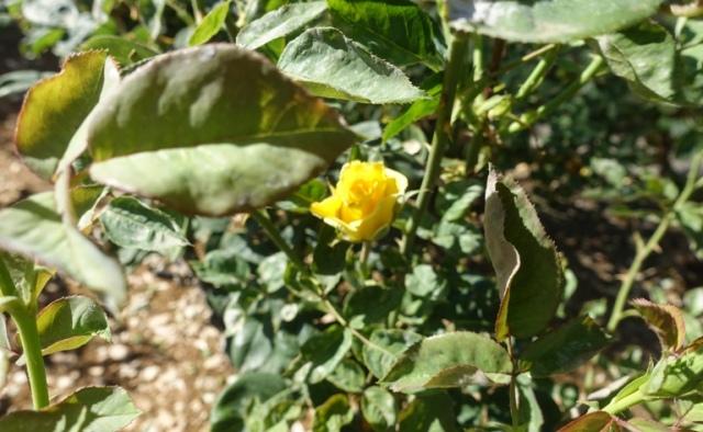 community rose gard, tracy, california, roses, garden work
