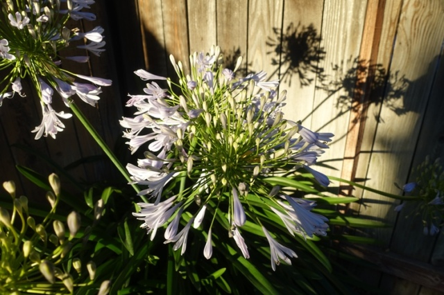 late evening, agapanthus, shadows, silhouettes, flowers