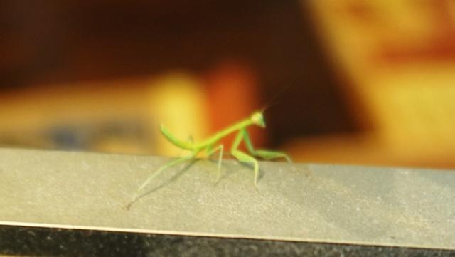 mantis, inside, monitor, little visitor, fauna
