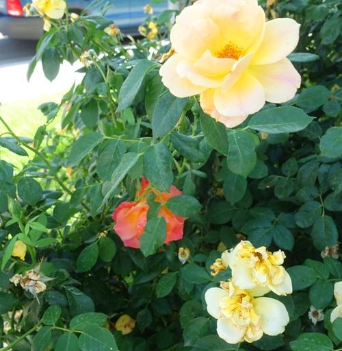 yellow rose bush, wrong blume, red rose on yellow bush, roses