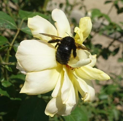 valley carpenter bee (Xylocopa varipuncta), female bee, black bee, rose garden