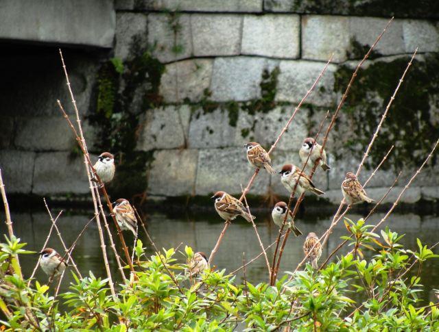 kyoto, sparrows, rock wall, birds in a bush