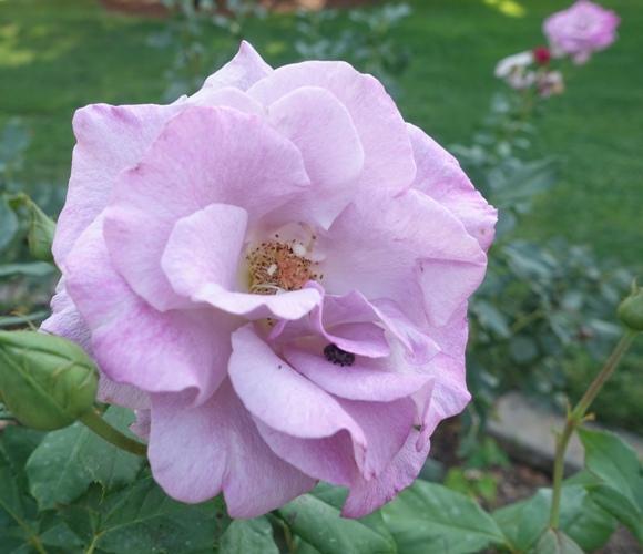 roses, rose garden fall roses, flora and fauna